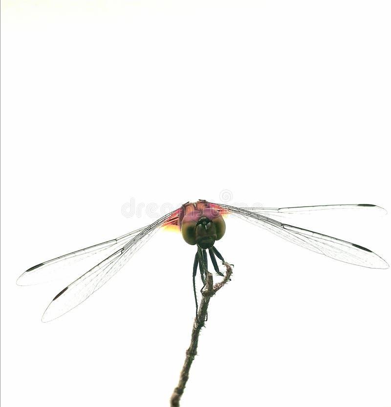 Smok komarnica w bielu zdjęcie stock