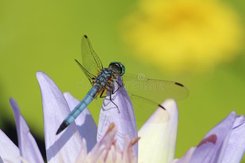 Smok komarnicy odpoczywać obraz stock