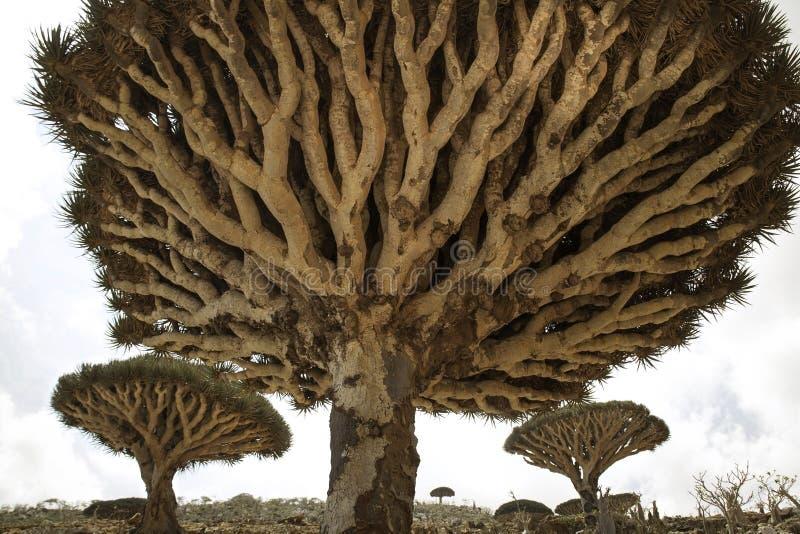 Smok krwi Drzewny forrest, Dracaena cinnabari, Socotra smoka drzewo, Zagrażał gatunki obrazy royalty free