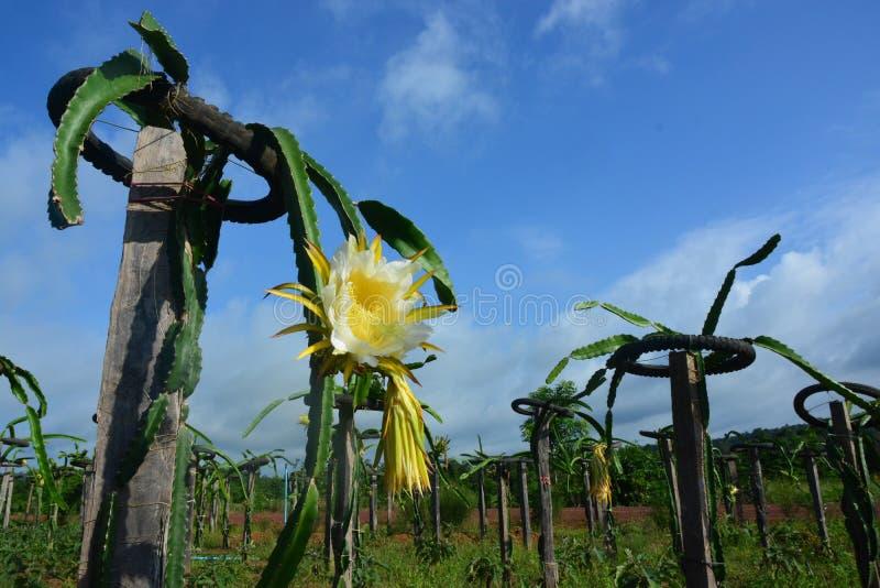 Smok owoc kwiat obraz royalty free
