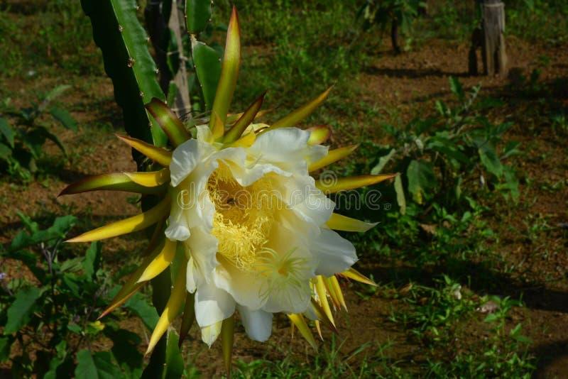 Smok owoc kwiat w smok owoc ogr?dzie zdjęcie royalty free