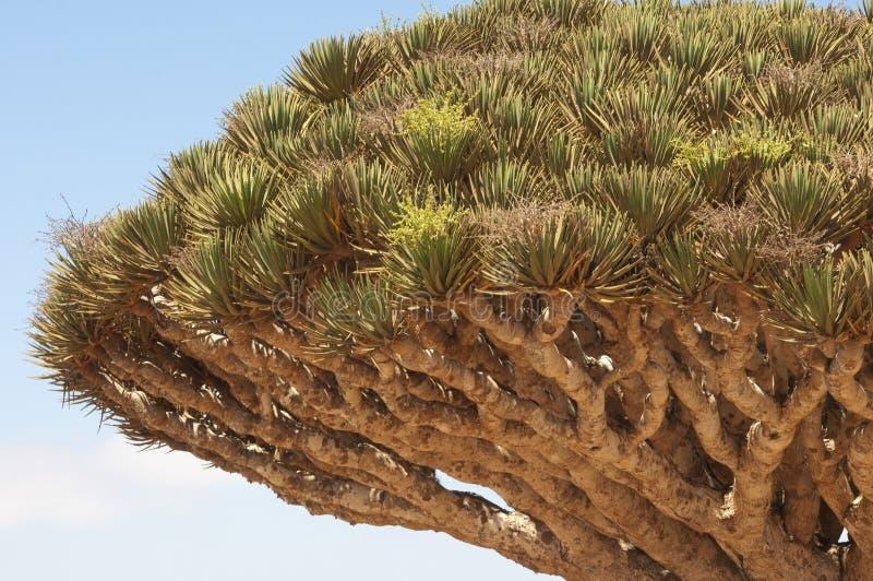 Smoka drzewo. Socotra wyspa obraz stock
