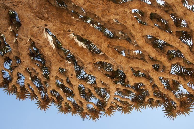 Smoka drzewo. Socotra wyspa zdjęcia stock
