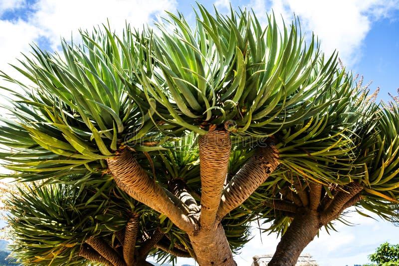 Smoka drzewo w Santana w maderze jest pięknym wioską na północnym wybrzeżu zna swój małymi pokrywającymi strzechą trójgraniastymi fotografia royalty free