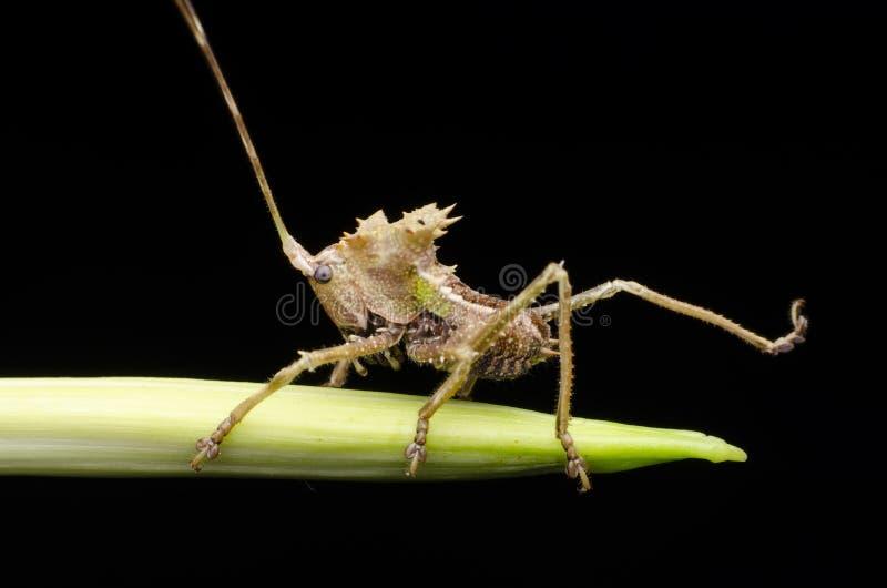 Smoka katydid głowiasta boginka znajdująca w Malaysia zdjęcie stock