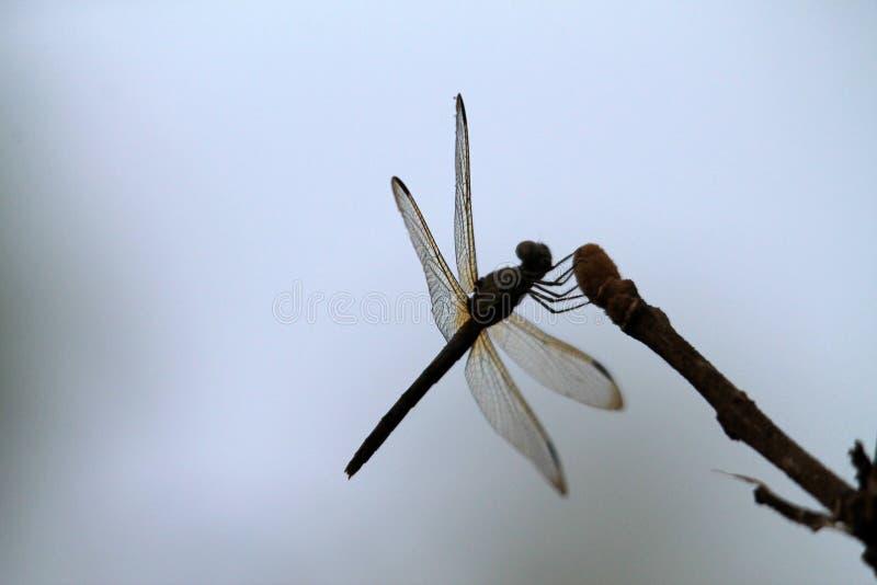 smoka komarnicy gałązka fotografia stock