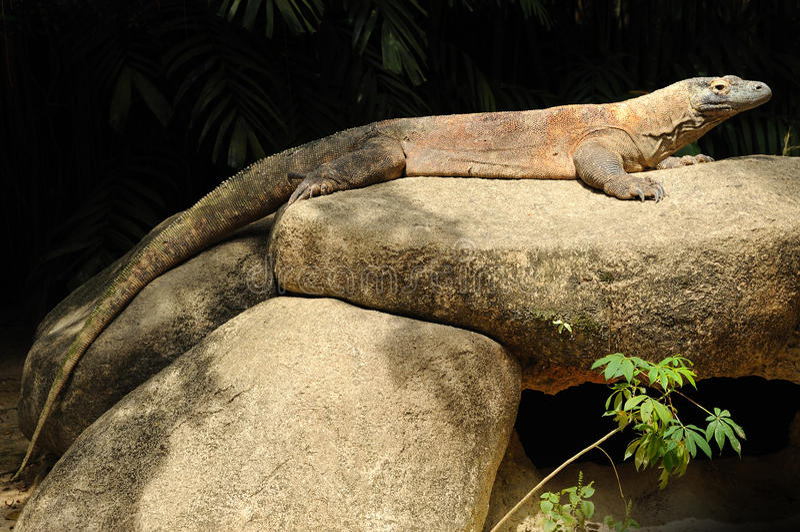 smoka komodo Singapore zoo zdjęcie royalty free