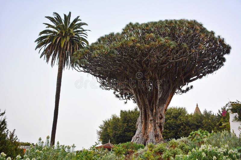 smoka Tenerife drzewo zdjęcia stock