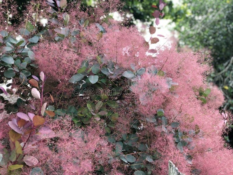 Smokebush rosado imagen de archivo