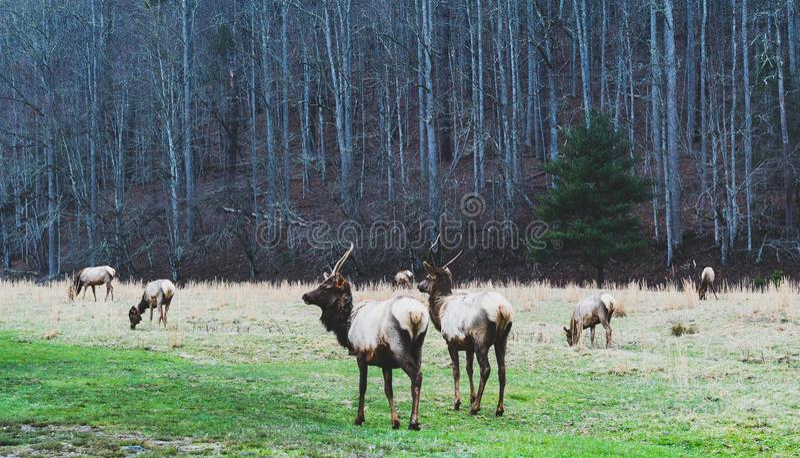 Smokey Mountains Elk fotos de stock royalty free