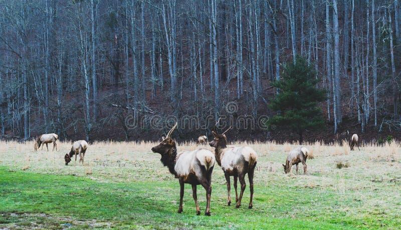 Smokey Mountains Elk royalty free stock photos