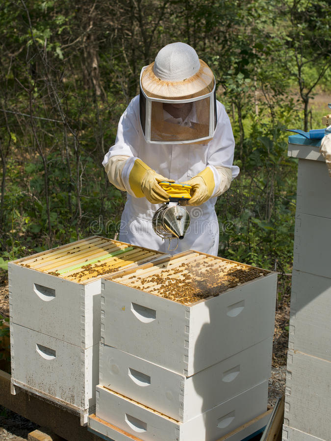 Smoking Bees. Smoking a beehive to calm the bees royalty free stock image