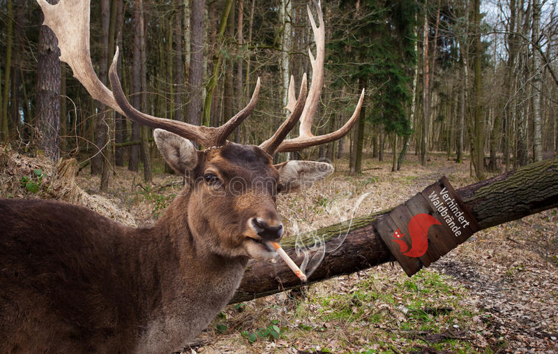 Smoking deer. Deer smokes cigarette in the forest royalty free stock photo