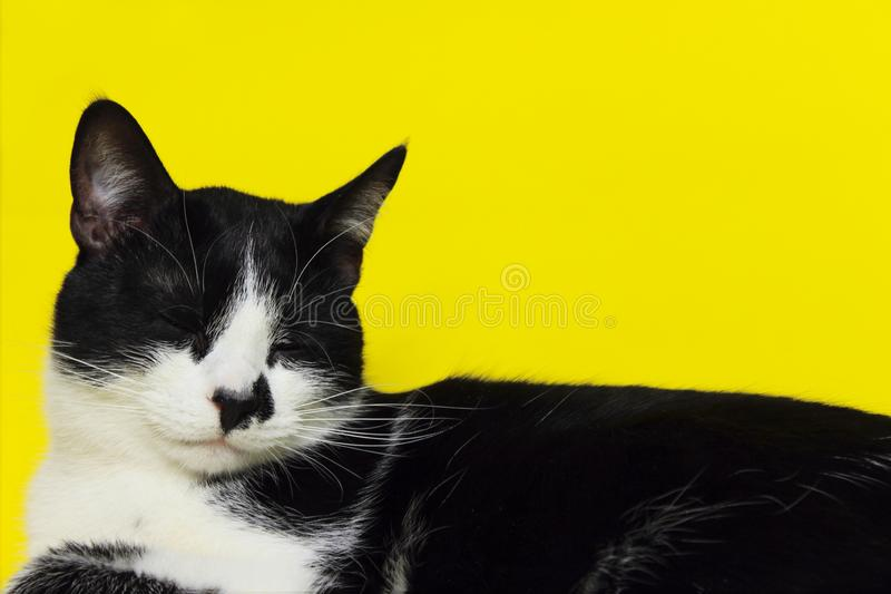 Smoking sveglio Cat Over Yellow Background Chiuda in su di un gatto Ritratto degli animali Gatto fotografie stock