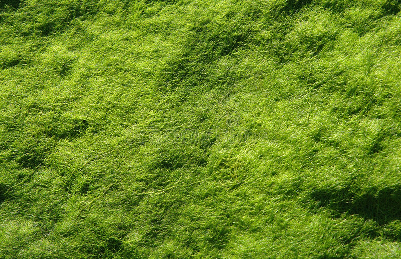 Smooth Algae stock photography