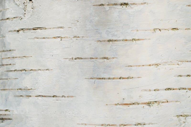 Smooth birch bark texture royalty free stock photo