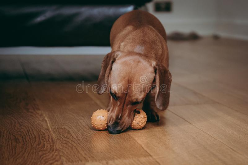 Smooth brown miniature dachshund playing with a toy. stock photo
