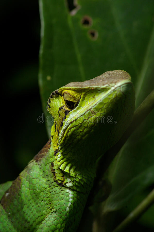 Download Smooth Casque Headed Basilisk 4 Stock Photo - Image: 10529838