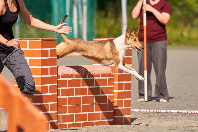 Dog jumping over a hurdle in an agility competition. Smooth collie jumping over a hurdle in dog agility competition. Fun outdoor sports action ion a sunny stock photos
