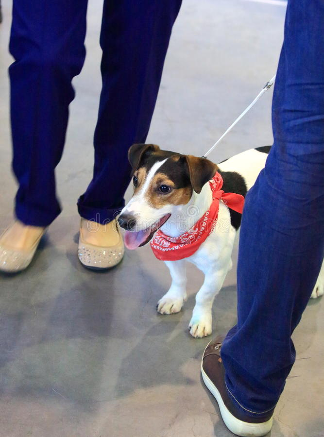Smooth Fox Terrier. Smooth-haired fox terrier with a red neck scarf at the exhibition of domestic animals stock photos