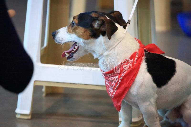 Smooth Fox Terrier. Smooth-haired fox terrier with a red neck scarf at the exhibition of domestic animals stock images