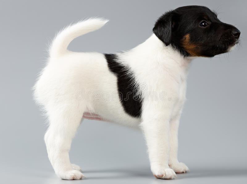 Smooth fox terrier. The puppy on a gray background, photographed stock photo