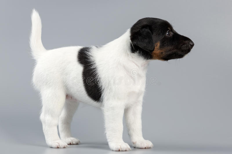 Smooth fox terrier. The puppy on a gray background, photographed royalty free stock images