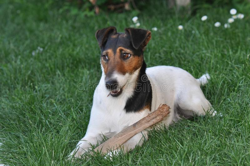 Dog with a stick. Smooth Fox Terrier relaxing and chewing a stick royalty free stock images