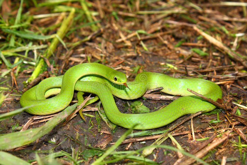 Smooth Green Snake (Opheodrys Vernalis) Stock Photo