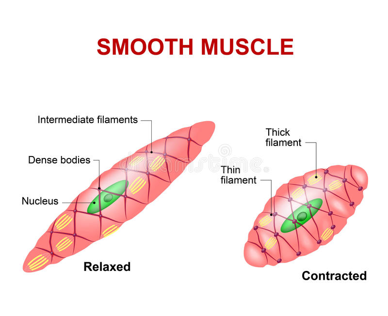 Smooth muscle tissue stock illustration