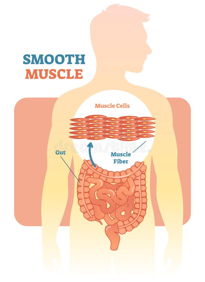Smooth muscle vector illustration diagram, anatomical scheme with human gut. Medical educational information royalty free illustration