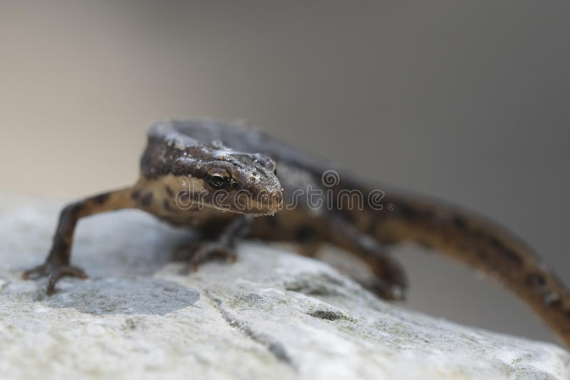 Smooth newt Lissotriton vulgaris portrait. Close-up of a smooth newt, also known as the common newt Lissotriton vulgaris; formerly Triturus vulgaris walking on a royalty free stock photos