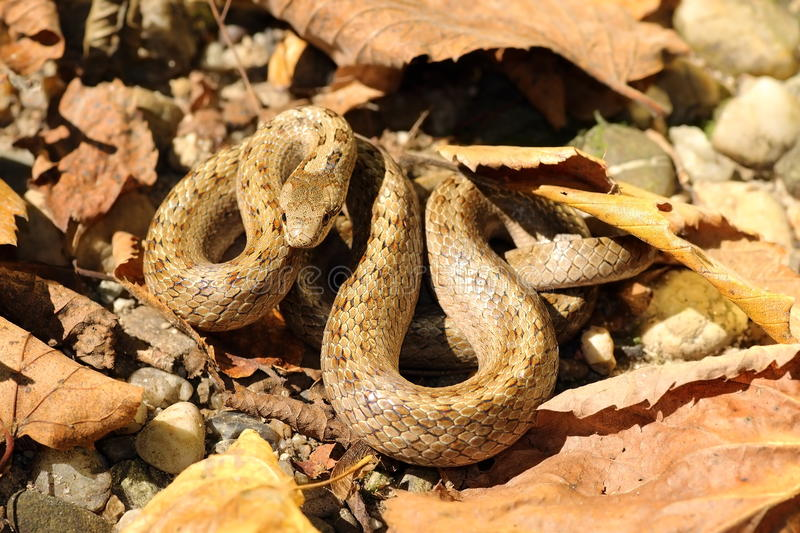 Smooth snake camouflaged on forest ground. European smooth snake camouflaged on autumn forest ground ( Coronella austriaca stock photography