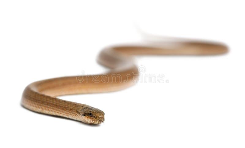 Download Smooth Snake, Coronella Austriaca Stock Image - Image: 24708317