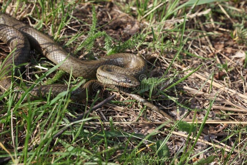 Smooth snake stock photos