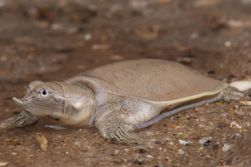 Smooth softshell turtle. The Smooth Softshell Turtle (Apalone mutica) is a softshell turtle living mainly in the Mississippi River drainage. The turtle is stock images