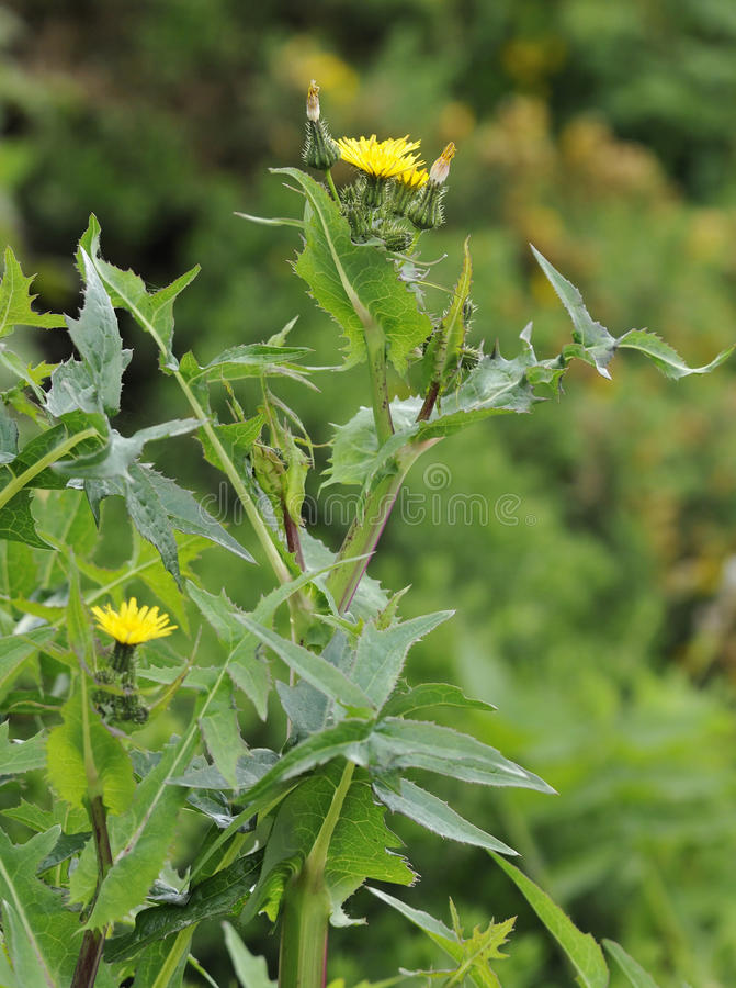 Free Smooth Sow-thistle Stock Photo - 44696670