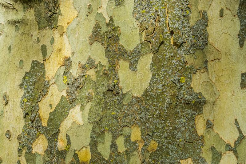 Smooth tree bark pattern background, tree natural defending mechanism, soft tree trunk stock photos