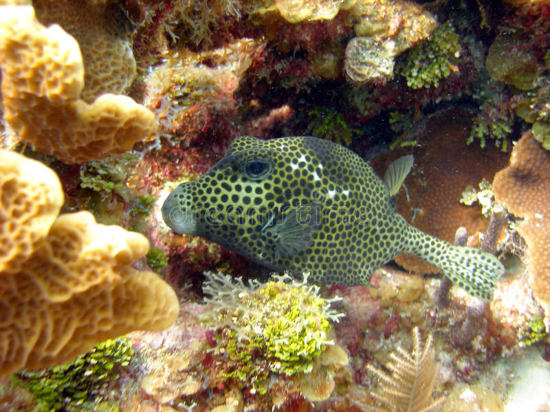Download Smooth Trunk fish stock image. Image of reef, scuba, water - 15201139