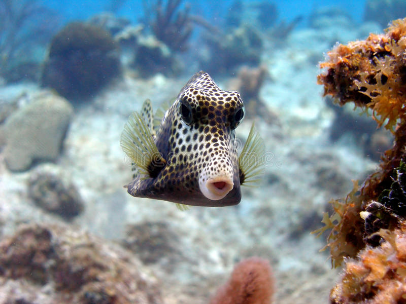 Download Smooth Trunk fish stock image. Image of swim, tropical - 16404561