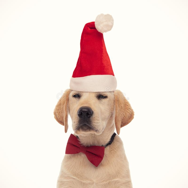 Smug labrador retriever puppy wearing santa claus hat royalty free stock photos