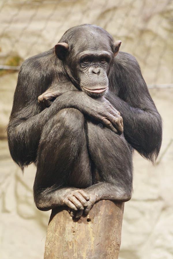 Smutna małpa zdjęcia stock