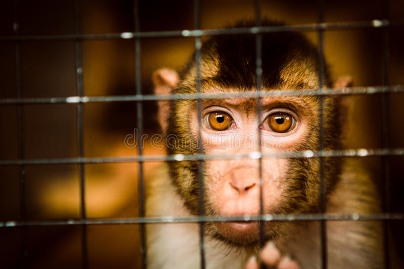 Smutna puszysta małpa w klatce siedzi obrazy royalty free