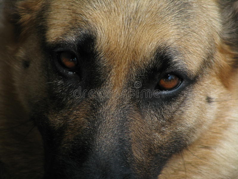 Smutni oczy Pasterski pies obrazy stock