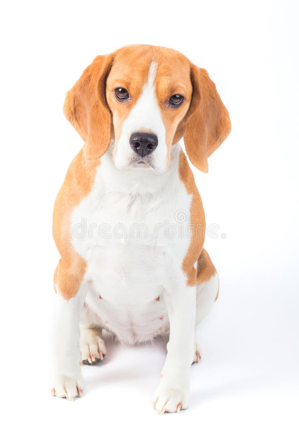 Smutny beagle psa portret fotografia royalty free