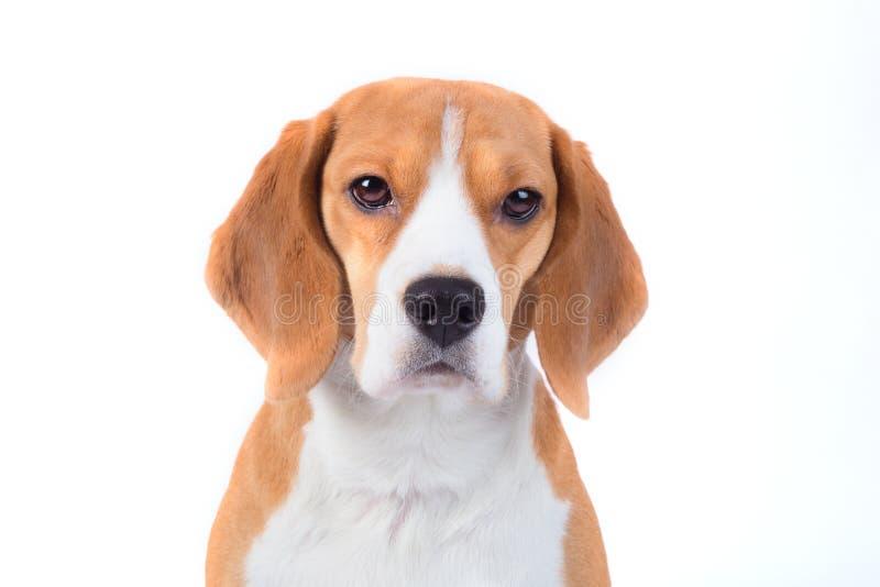 Smutny beagle psa portret obraz stock