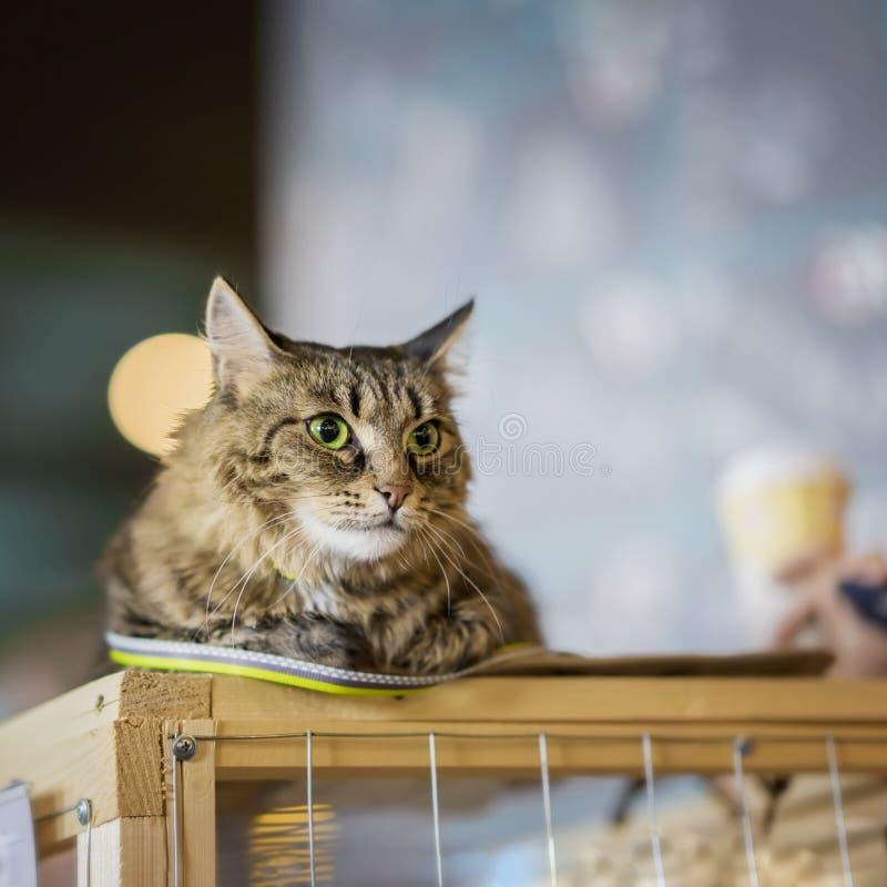 Smutny bezdomny samotny kot z przelękłym spojrzeniem, kłama na klatce w schroniskowym czekania czekaniu dla domu dla someone, obrazy stock