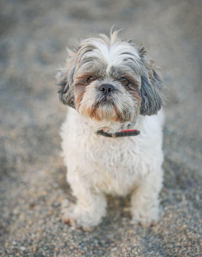 Smutny, białobrzuchy pies obraz stock