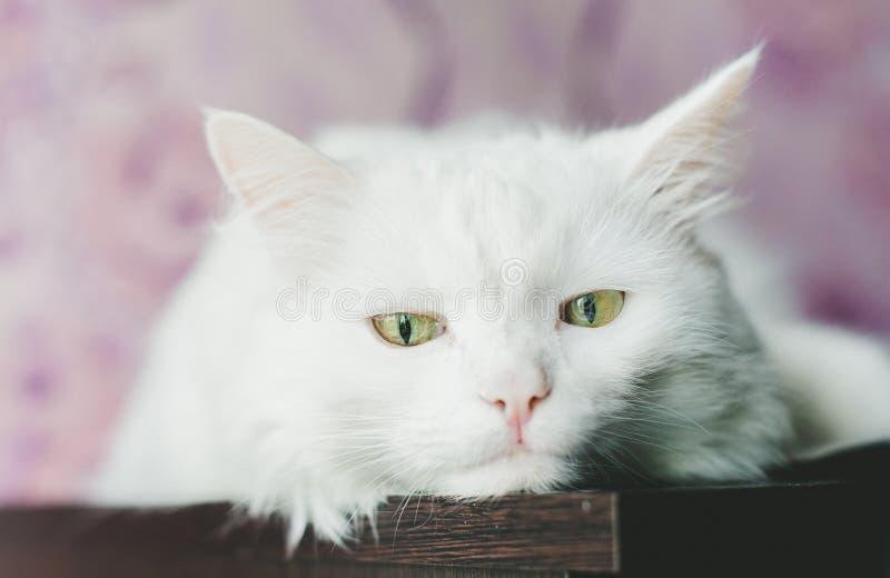 Smutny biały kot obraz stock