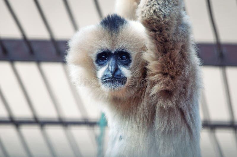 smutny gibonu zoo zdjęcia royalty free